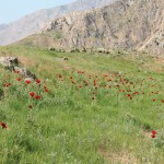 Poppies on the way to Damavand